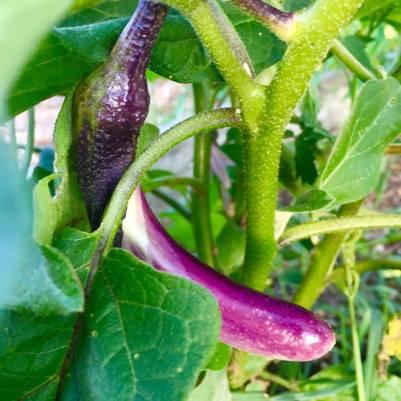 New eggplant!