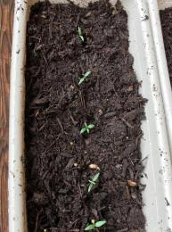 Tigerella tomato seedlings