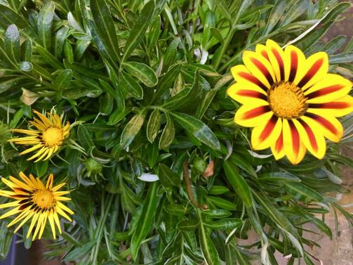 Gazanias in pots on the porch